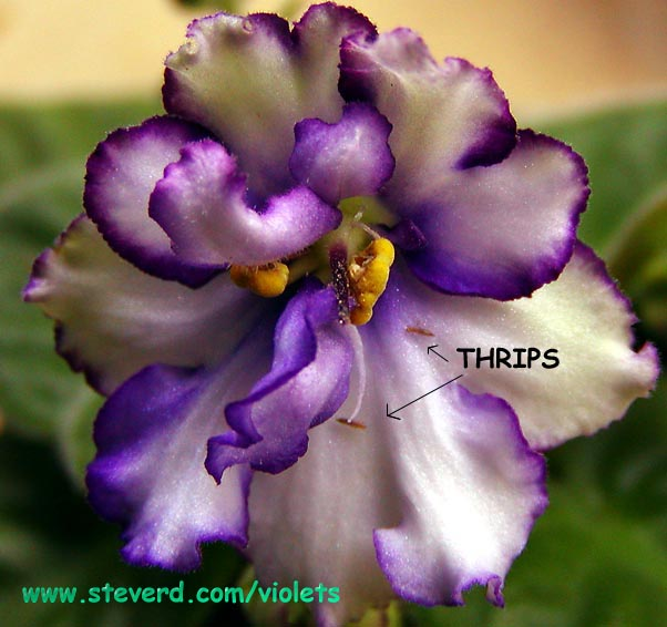 African Violet Thrips control page